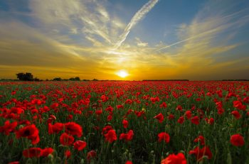 one-family-movement-poppy-field-sun-sunrise-world-peace